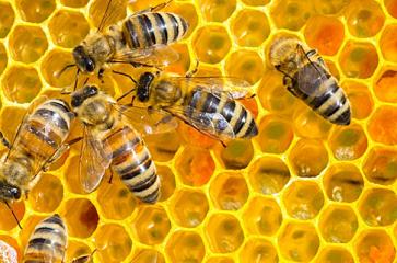 abeilles32